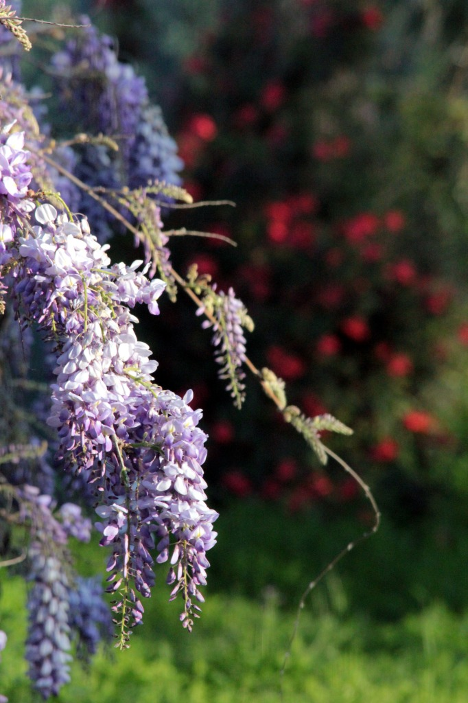 Wisteria in the Garden