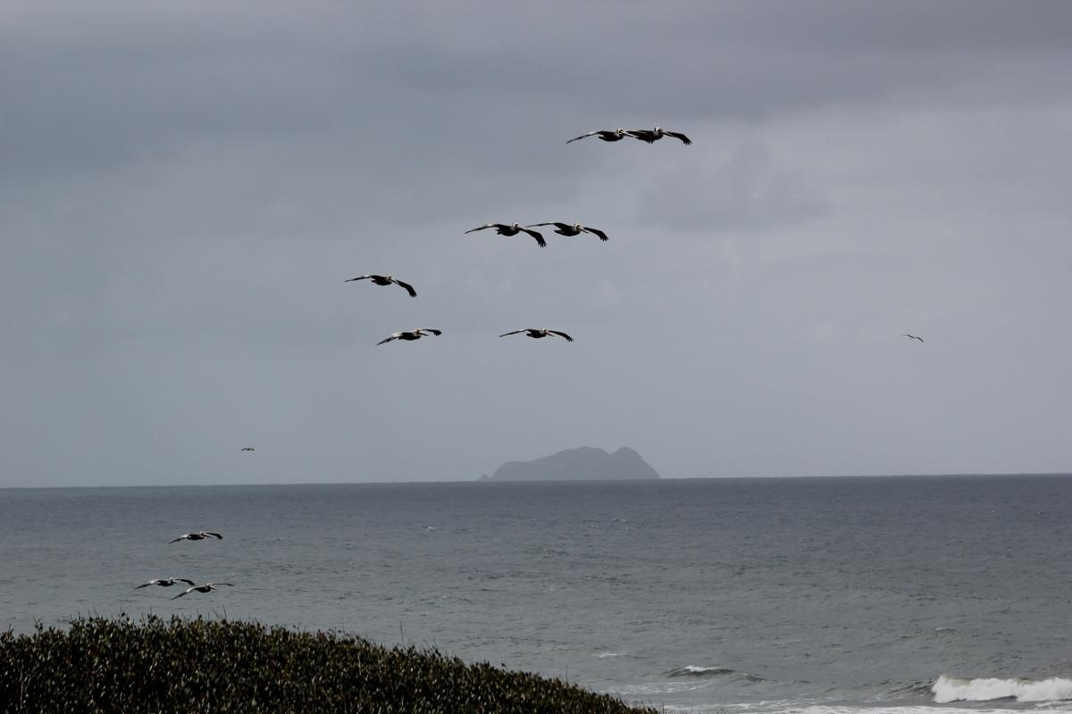 pelicans01LR