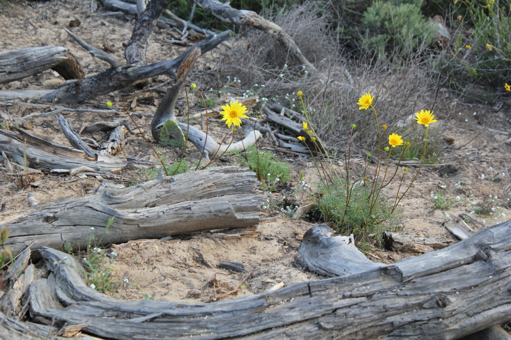 Torrey Wildflowers