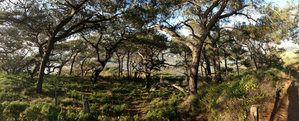 Torrey Pine Forest Panorama