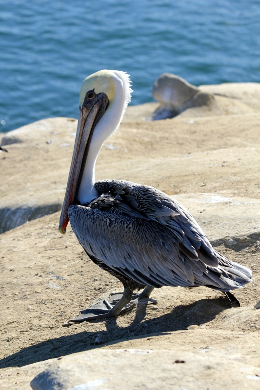A Distinguished Pelican Rests after Breakfast
