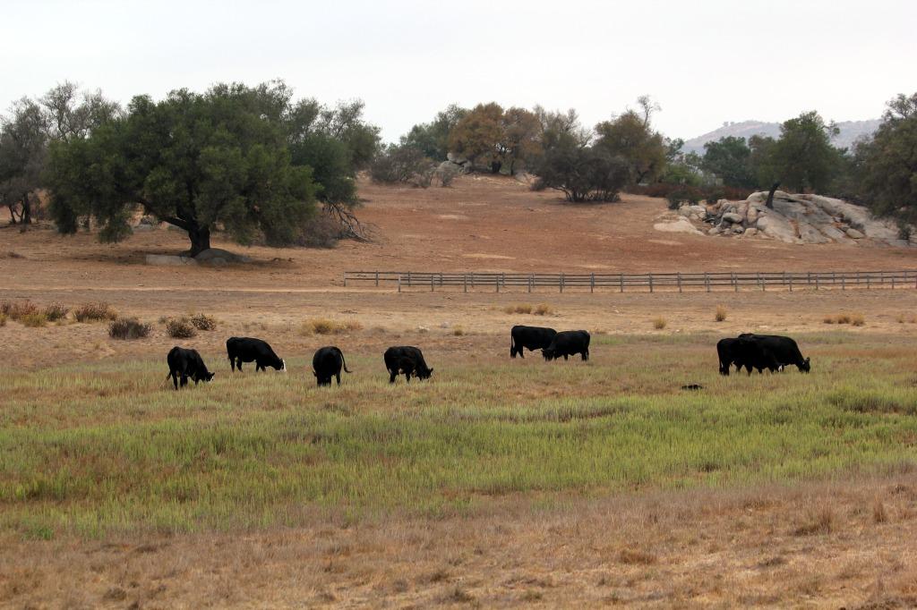 cattle_ramona